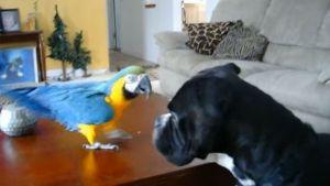 Bóxer e papagaio, grandes companheiros de jogos