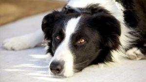 Como tratar a queda de pelo dos cães