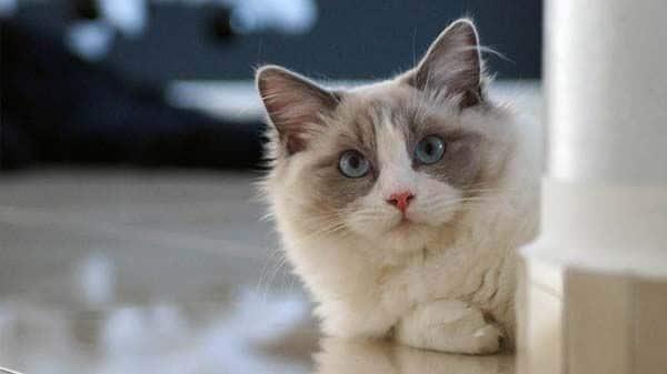 Raças de gatos: todo o que precisas saber