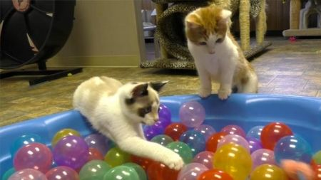 Gatos brincam na piscina de bolinhas