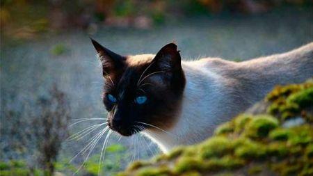 Gato siamês: curiosidades e características