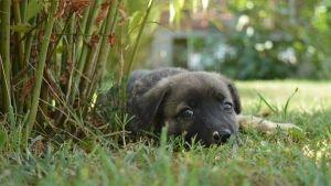 O meu cão come as suas fezes: tratamento para a coprofagia canina