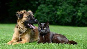 Vacinas obrigatórias para cães e gatos dependendo para onde fores viajar