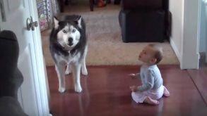 Husky imita o chamado de um bebé