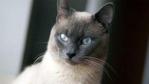 Como saber se o meu gato está doente: lista de provas do gato adulto