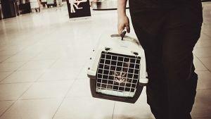 Dicas para colocar o teu gato na caixa de transporte