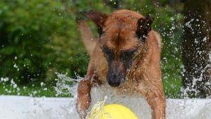 Piscinas para cães e outras dicas para que o teu cão esteja fresquinho