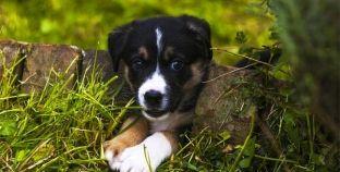 Por que é que os cães comem erva