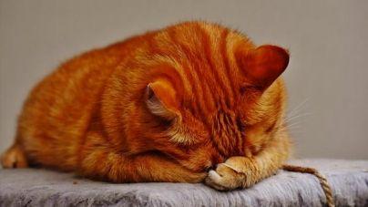 Dieta para gatos: quando devo colocar o meu gato de dieta?