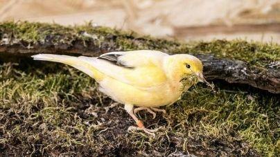 Como saber se o teu canário é macho ou fêmea