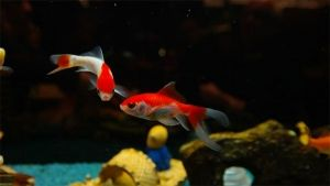 É difícil cuidar de um aquário pequeno?