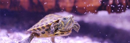 O que preciso para abrigar uma tartaruga de água em casa?