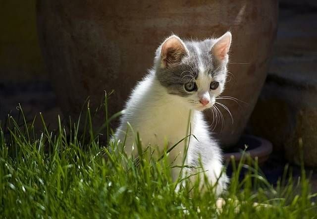 Qual é o melhor antipulgas para o meu gato?