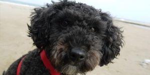 As 10 raças de cão mais inteligentes