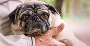 Como tratar a dermatite em cães