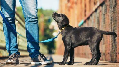 Como educar um labrador cachorro?