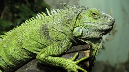 O que as iguanas comem?