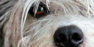 Doenças mortais em cães