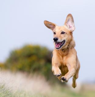 Uso da coleira elétrica para cães