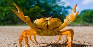 O que comem os caranguejos?