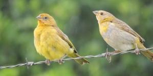 Sintomas de problemas digestivos nas aves