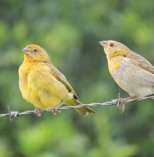 O meu pássaro é fêmea ou macho?