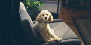 Como melhorar a chamada do teu cão