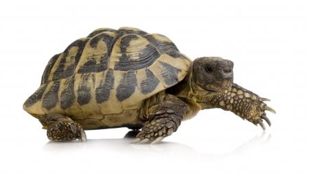 Tartarugas-de-terra dentro da casa: luz e temperatura