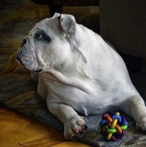 Qual é a melhor ração para o meu Bulldog Inglês?