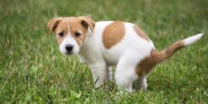 Como ensinar um cão onde fazer as suas necessidades