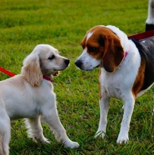 Cães reativos durante o passeio: Como trabalhar com eles?