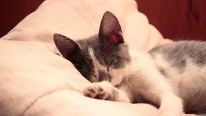Por que é que ronronam os gatos? – Parte II