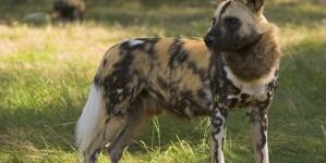 Cão-selvagem-africano