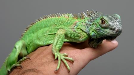 Como domesticar uma iguana