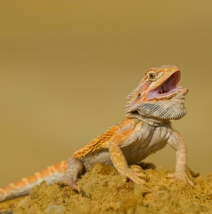 Dragão-barbudo em estado selvagem
