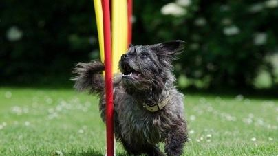 Agility para cães: um exercício fabuloso