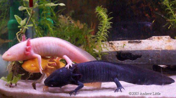 Axolotes: Introdução sobre estes curiosos animais de estimação