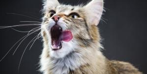 O bigode do gato: tudo o que deves saber