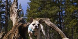 Qual é a melhor ração para o meu Bulldog francês?
