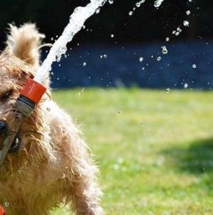 Golpe de calor em cães