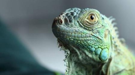 10 conselhos de como cuidar de uma iguana