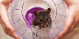 Reprodução e crias de hamster