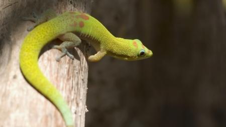 Qual lagarto escolher como animal de estimação?
