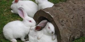 Os coelhos como animais de estimação