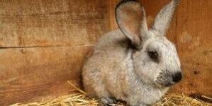 Doenças da pele em coelhos