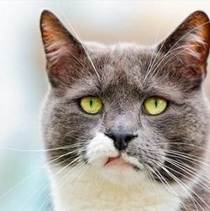 Como manter livres de ácaros as orelhas do teu gato