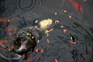 Uma alimentação adequada à natureza para os teus peixes de lago de jardim