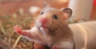 Tipos de hamster e as suas diferenças