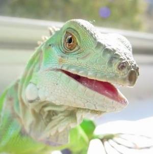 Cuidados e manutenção da Iguana verde