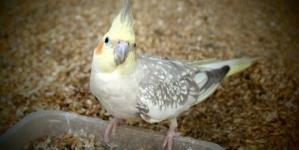 Caturras: uma ave ideal para principiantes